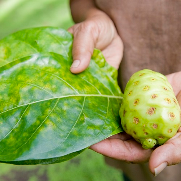 Elements of noni: the noni leaf